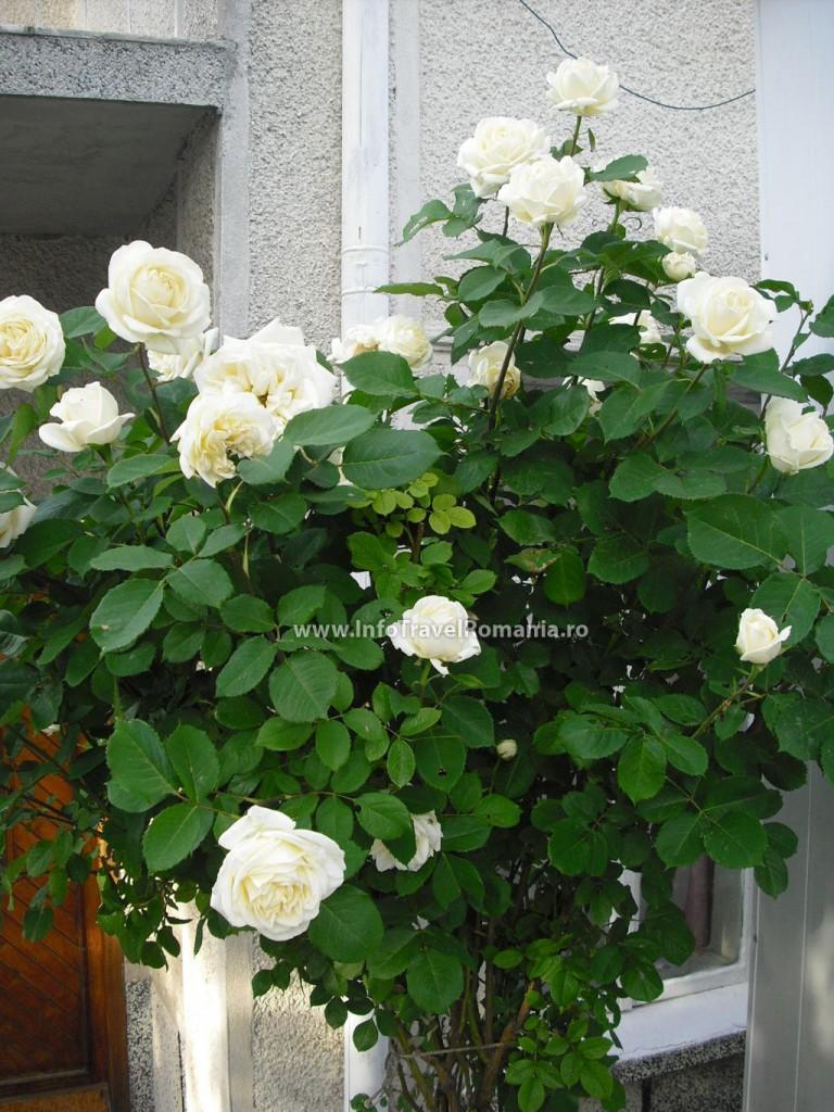 obzor7-trandafiri-albi