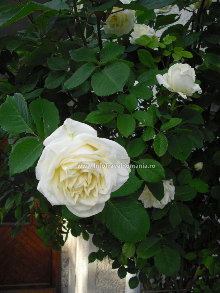 obzor8-trandafiri-albi