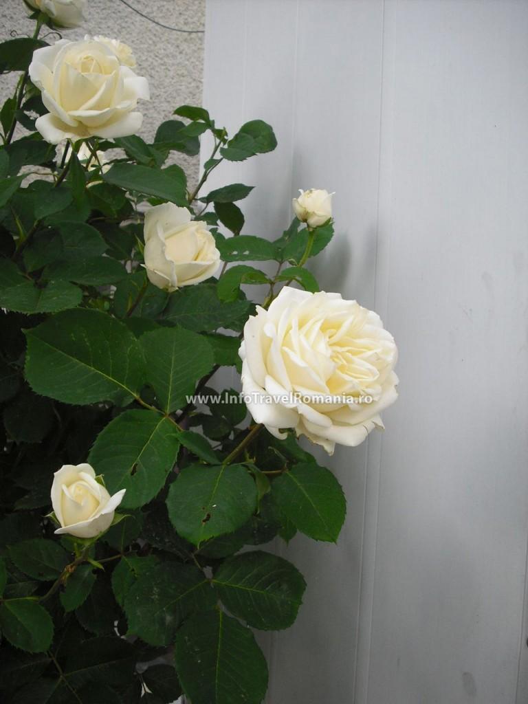 obzor9-trandafiri-albi